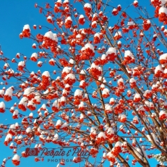 Mountain Ash Berries at Christmas