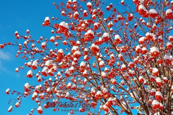 Mountain Ash Berries at Christmas