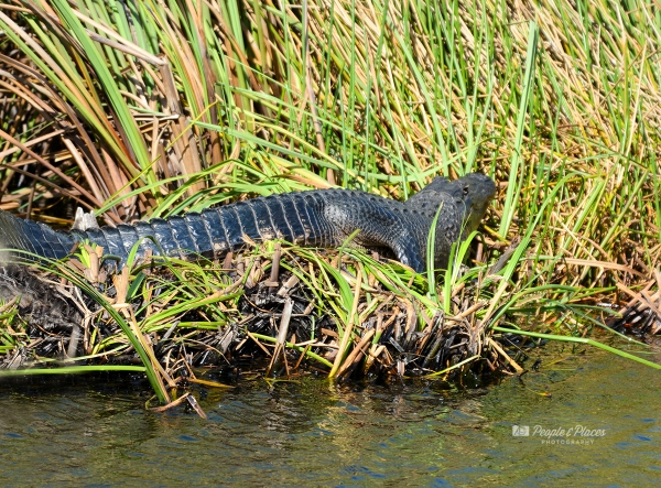 Sharp-toothed Florida Alligator