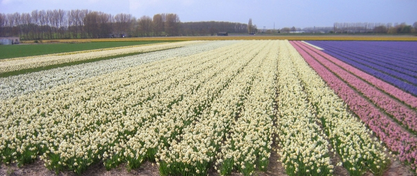 Field of Blossoms