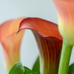 Flame - Calla Lily