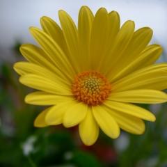 Golden Yellow Gerbera